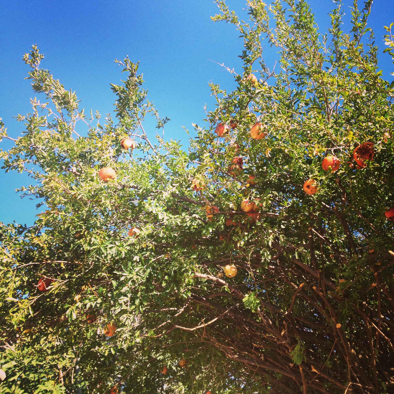Гранаты. Плоды Святой Земли